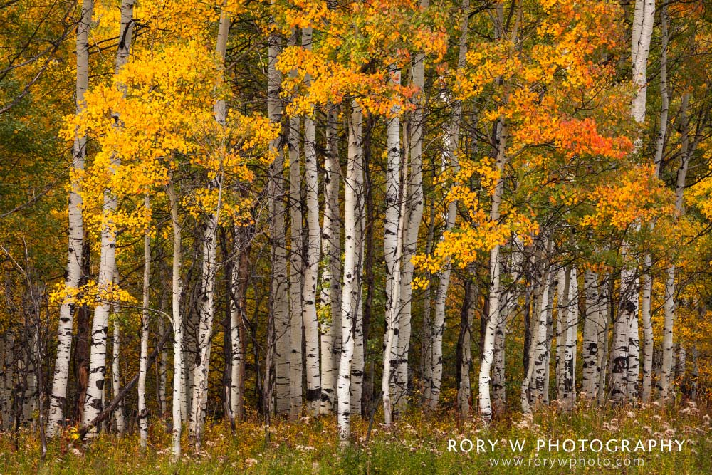 Autumn Aspen Grove Print