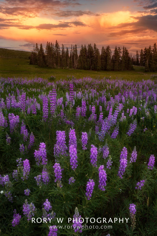 Lupines of Northern Utah Print