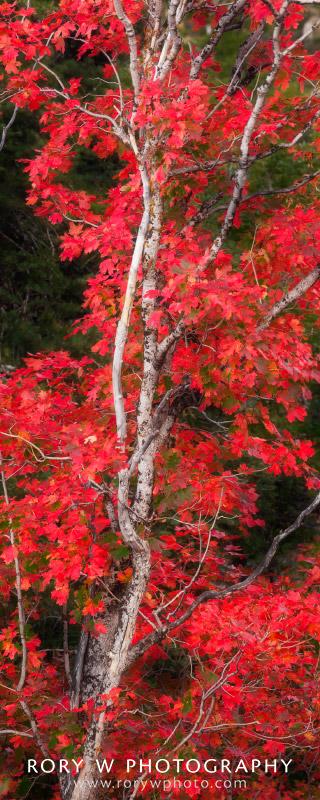 Autumn Maple Print
