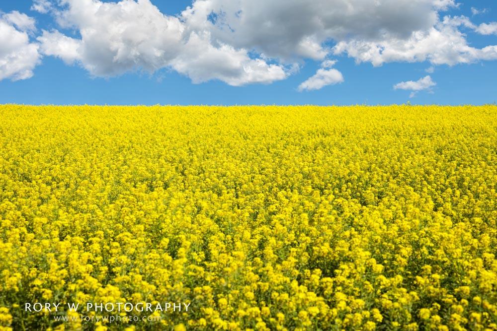 Yellow Fields of Bancroft, Idaho Print